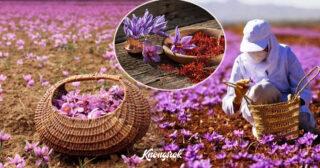 ដឹងអត់ Saffron ជាប្រភេទផ្កាដ៏មានតំលៃបំផុត ជួយដល់សុខភាព និងសម្រស់ ហើយជាគ្រឿងទេសដែលឆ្ងាញ់បំផុតសំរាប់ឋានៈត្រកូលអភិជន
